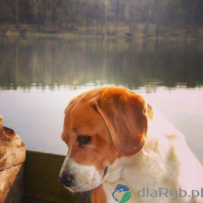Pies Harry na rybach