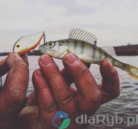 Okoń z łowiska w Żukowie
