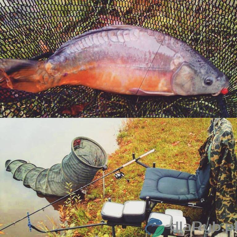 Karp złowiony na łowisku przy Karczmie Miłocin